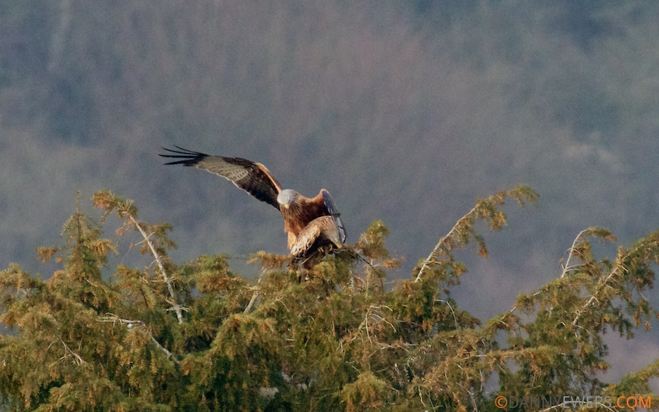 Red Kites Mating